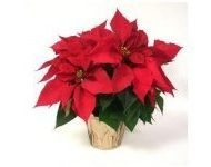 poinsettia_in_crock_pot