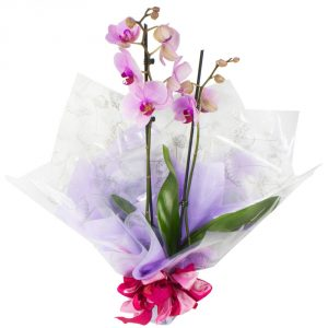 +ORCHID PLANT